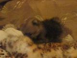 89119982980 Ольга В продаже миниатюрный шпиц (мишка)